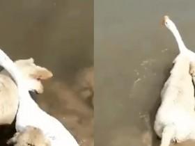 大鹅因为两只金毛狗得了抑郁症!男子收养流浪狗只因狗狗长得像其老婆